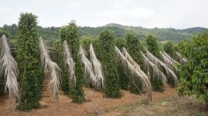 Pepper plants in Kep