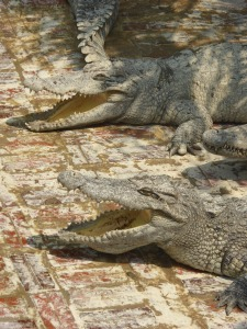 Adult gators basking in the sun