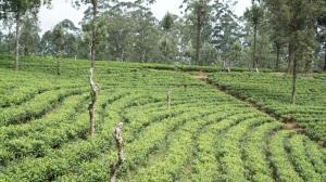 Tea plantation seen from train