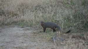 A mongoose in Yala
