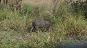 Wild boar in Yala