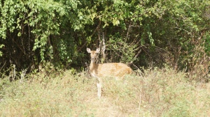 Spotted deer in Yala