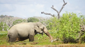 Elephant in Yala
