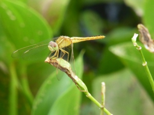 Dragonfly in Tissa