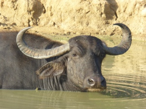 Water buffalo in Yala