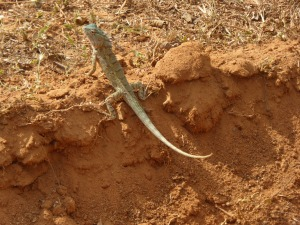 Lizard in Yala
