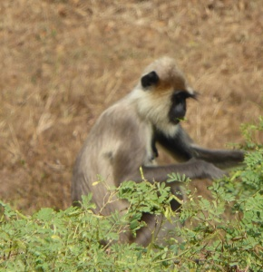 The obligatory monkey in Yala