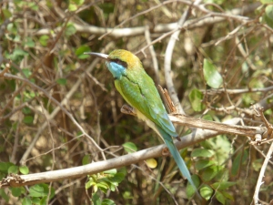Green bee eater in Yala