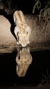 Lion lapping up water at night