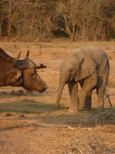 Elephant versus buffalo