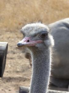 A curious ostrich