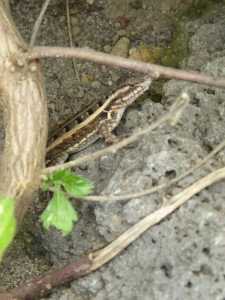 Cute, little lizard.  These guys are everywhere.