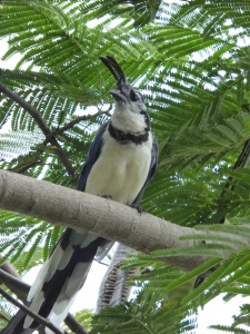 I think this is a magpie jay.