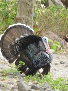 Ometepe turkey