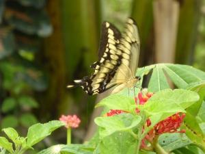 Ometepe butterfly