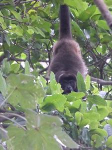 Howler monkey on Ometepe