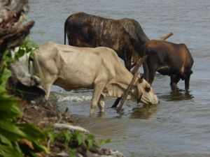 Cows in Lake Nicaragua for their evening drink