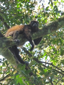 Another howler monkey