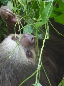 Sloth close-up