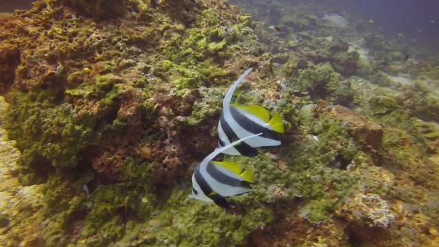 Bannerfish Koh Haa