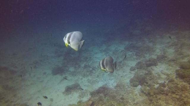 Batfish Ko Haa