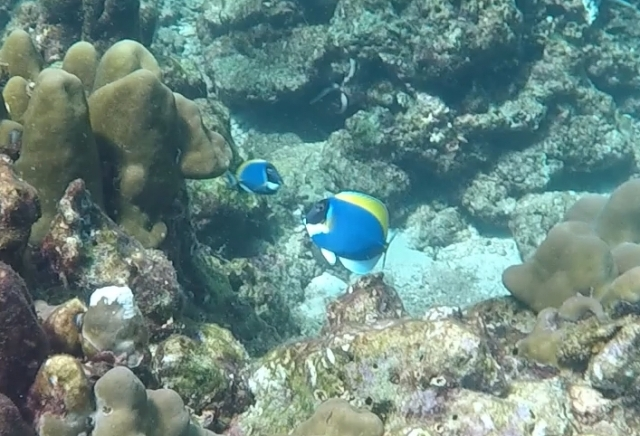 Powder Blue Surgeonfish Koh Haa