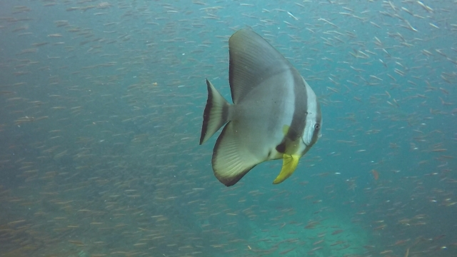 batfish rr 01