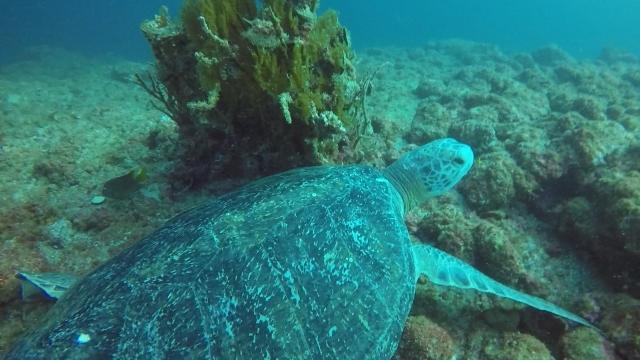 Los Arcos Turtle 02