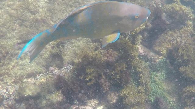 Parrot Fish Los Tuneles
