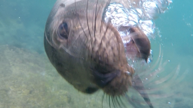 sea lion playing