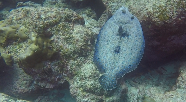 uNorth S Dive Leopard Flounder