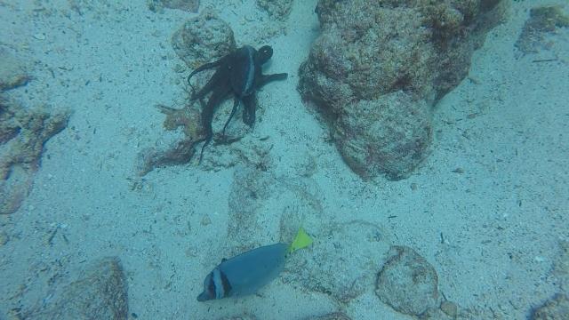 uNorth S Dive Octopus 02