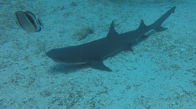 uNorth S Dive White Tip Juve
