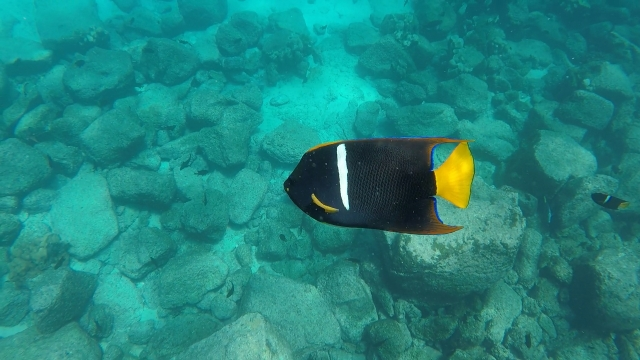 uSeymour Black Yellowtail 01