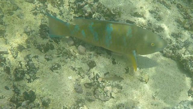 uTinto Parrot Fish