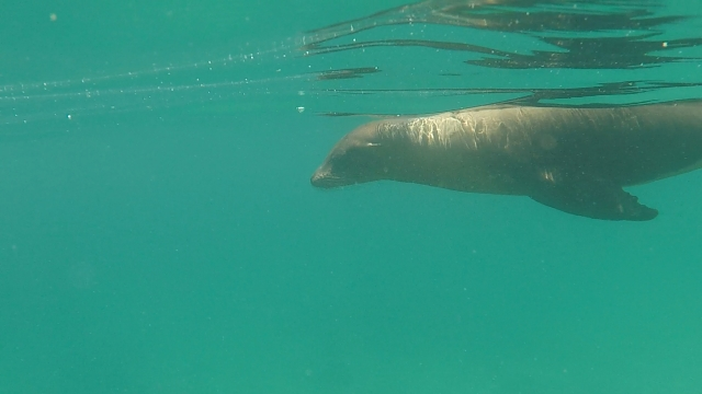 uTinto Sea Lion